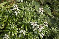 Leontopodium japonicum 16.jpg