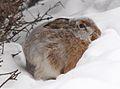 Lepus europaeus in winter Finland.jpg