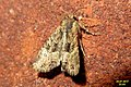 Lesser common rustic (BG) (37504313072).jpg