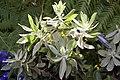 Leucospermum Veldfire 3zz.jpg