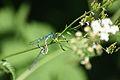 Libelle, Untere Seeveniederung, Landkreis Harburg, Niedersachsen.jpg