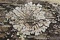 Lichen (28012089727).jpg