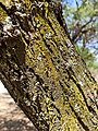 Lichens Candelaria sp. and Physcia sp. growing on a tree.jpg