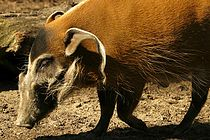 Lightmatter unidentified pig-like animal.jpg