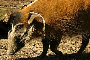 Wildlife of Liberia - A red river hog