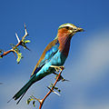 Lilac-Breasted Roller with Grasshopper on Acacia tree in Botswana (small) c.jpg