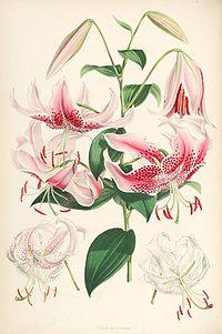 Lilium speciosum (lit)