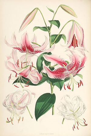 Henry John Elwes - Illustration from Monograph of the Genius Lilium by W. H. Fitch