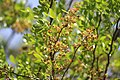 Limonia acidissima.jpg
