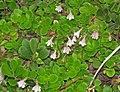 Linnaea borealis americana (twinflowers) (8 July 2015) (Firehole Canyon, Yellowstone, Wyoming, USA) 1 (20073904174).jpg