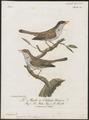 Lioptilus nigricapillus - 1796-1808 - Print - Iconographia Zoologica - Special Collections University of Amsterdam - UBA01 IZ16500011.tif