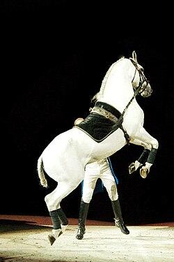 Lipizzaner Stallion.jpg
