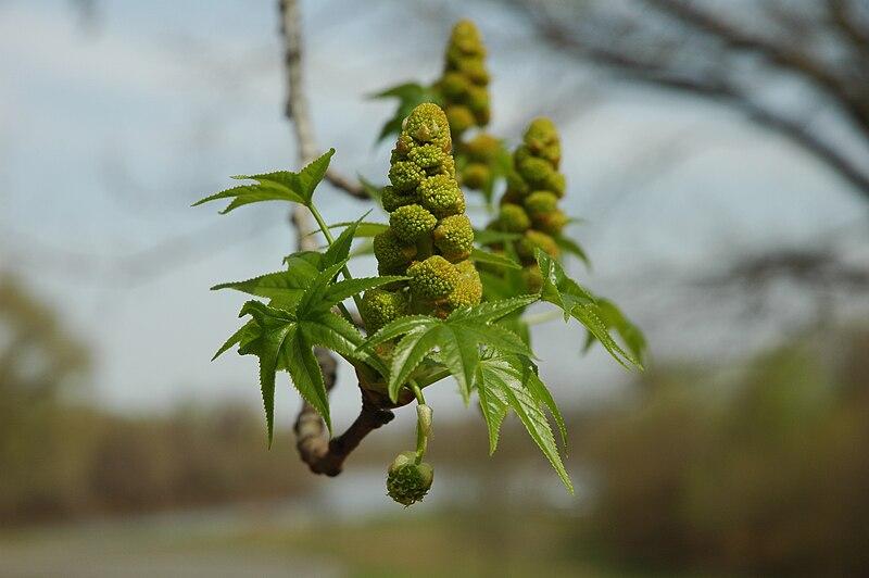 File:Liquidambar styraciflua bloom.JPG