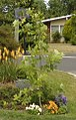 Liriodendron tulipifera, Sidney, BC, Canada.jpg