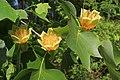 Liriodendron tulipifera 3tulips.jpg