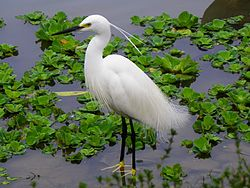 Little Egret in Taipei Daan Park Pool.jpg