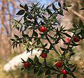 Lobodika bodeča (Ruscus aculeatus) - MO Nova Gorica (SW Slovenia).jpg