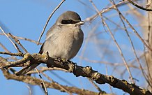 Loggerhead Shrike in Yolo County, California