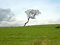 Lonely Tree - geograph.org.uk - 246593.jpg