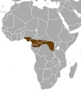 Long-tailed musk shrew