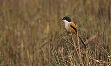 Long-tailed Shrike HR.jpg