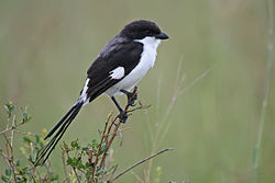 Long-tailed fiscal, Lanius cabanisi.jpg