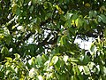 Lophopetalum wightianum Arn. (16201093632).jpg