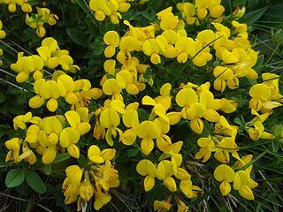 external image 320px-Lotus_corniculatus_T69.2.jpg?uselang=it