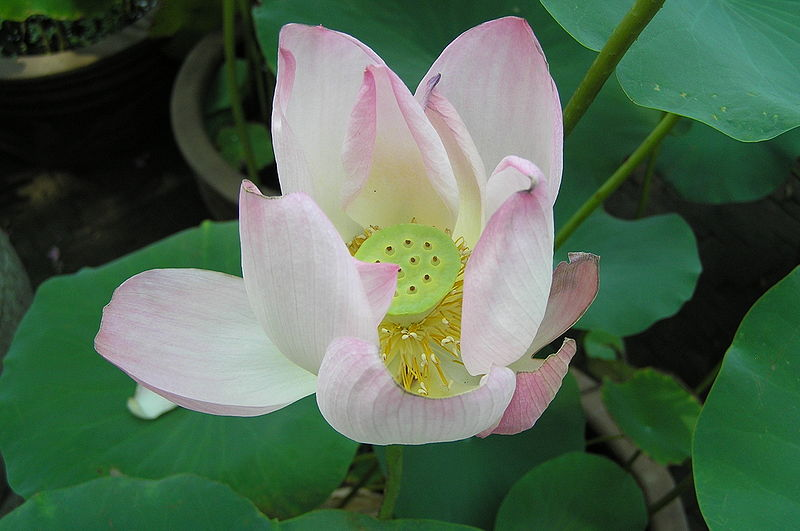 File:Lotus flower (Suzhou, China).jpg