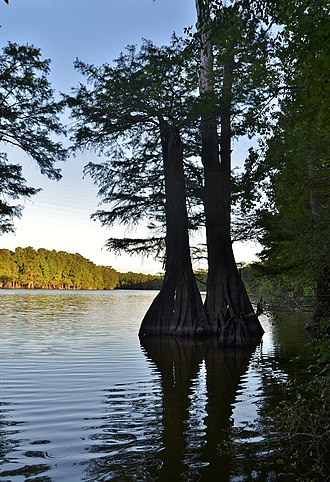Arkansas County, Arkansas - Bald cypress trees along the shores of Lower White Lake