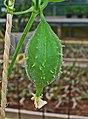 Luffa operculata 03.JPG