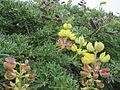 Lupinus arboreus (6062146673).jpg