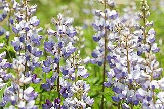 <i>Lupinus perennis</i> species of plant