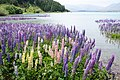 Lupinus sp. at Lake Tekapo, New Zealand 12.jpg