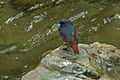 Luzon Water Redstart.jpg
