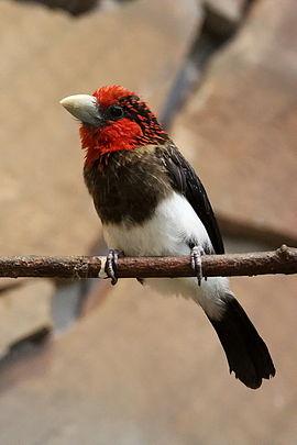 Velká prsa potřebují velké ptáky