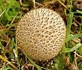 Lycoperdon nigrescens (37576201091).jpg