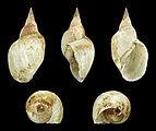 Lymnaea stagnalis 01.JPG