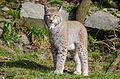 Lynx (16276719504).jpg