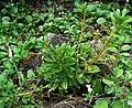 Lysimachia mauritiana (4756849016).jpg