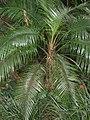 Lytocaryum wedellianum in Lyon Arboretum.jpg
