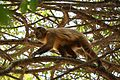 Macaco GO1.jpg