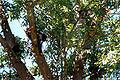 Macaque maure figuier.jpg