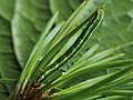 Macaria liturata (larva) - Tawny-barred angle (caterpillar) - Углокрылая пяденица хвойная (гусеница) (40934613041).jpg
