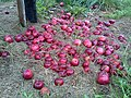 Macintosh apples - No they have not been painted with crimson paint - panoramio.jpg