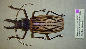 Description de l'image  Macrodontia cervicornis01.jpg.