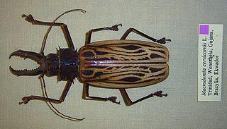 <i>Macrodontia</i> (genus) genus of insects