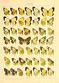 Macrolepidoptera01seitz 0057.jpg