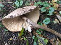 Macrolepiota procera 99589775.jpg