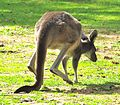 Macropus fuliginosus moving.jpg